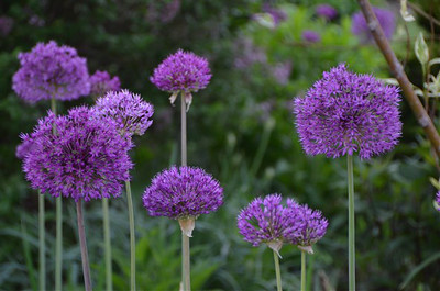 Allium 'Purple Sensation'.jpg