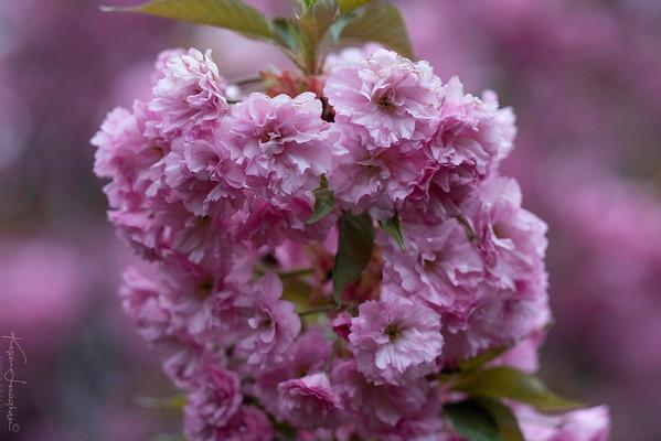 2018 Branch Brook  Cherry Blossoms