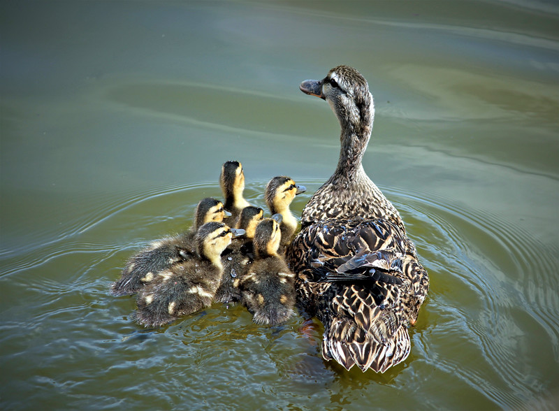 5_27_19 Mother and ducklings.jpg