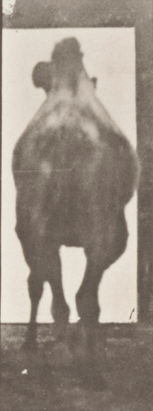 Bactrian camel walking, then racking