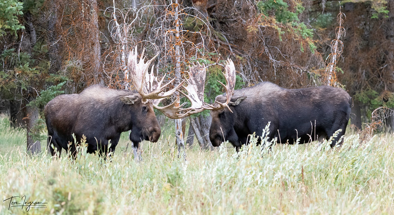 Bull Moose Getting ready for the rut