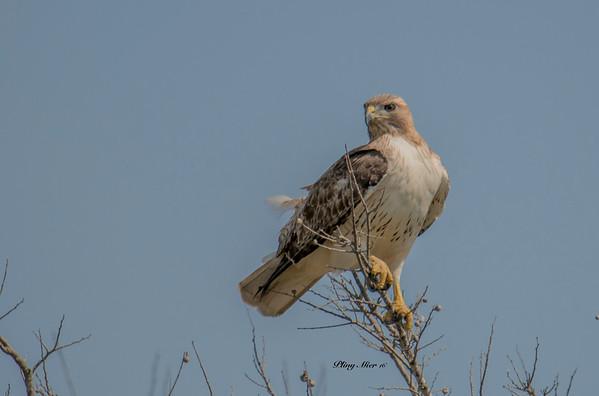 Red-tailed Hawk CB_DWL7238.jpg