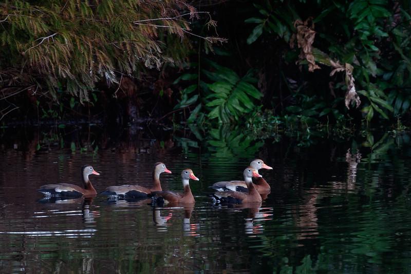Black-Bellied Whistling Ducks-4857.jpg