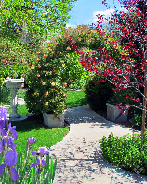Archway of Roses ~ Another view of this pretty garden in Redlands.  I liked the shadow of the tree on the walkway.