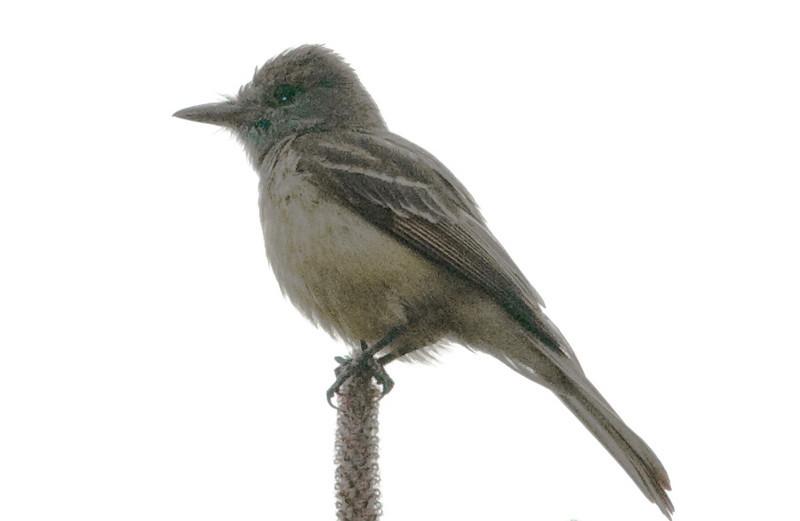 Great-crested Flycatcher (poor light)