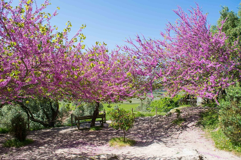blooming pink trees in a park