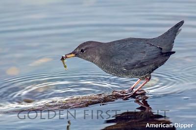 American Dipper, Whidbey Island WA, USA