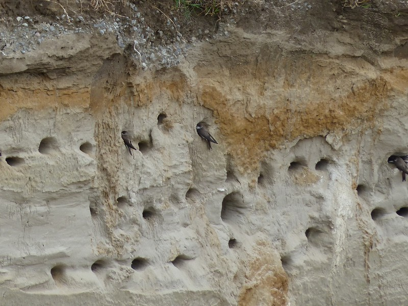 Bank Swallows - perched at mouth of burrow.