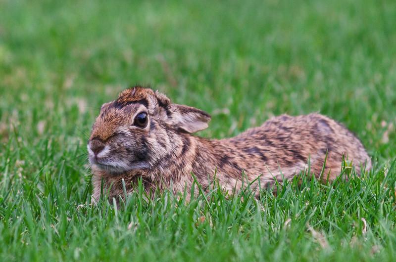 Rabbit Sits In Grass.jpg