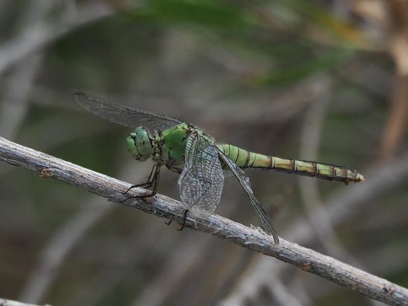Western Pondhawk, female