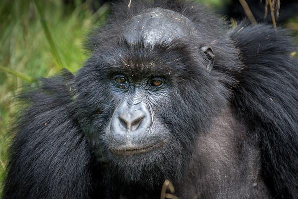 Rwanda 2014 Mountain Gorillas
