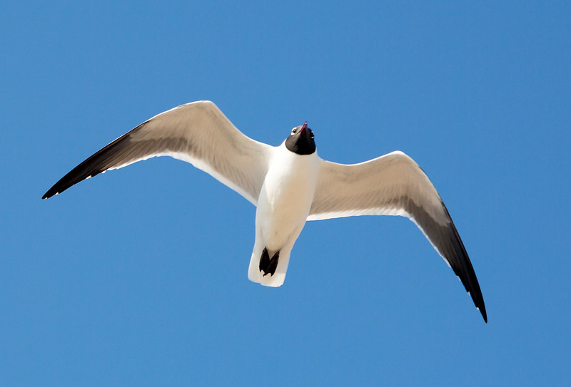... and a Laughing Gull overhead.
