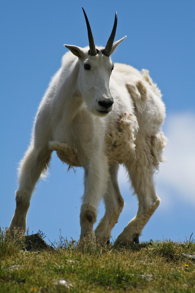 Molten Goat