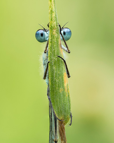 Common blue damselfly roosting