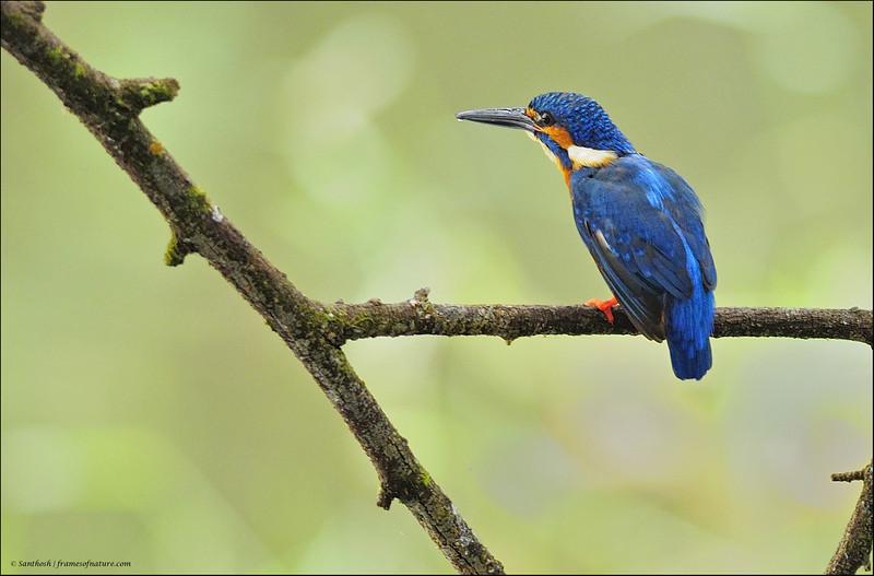 Common Kingfisher-09.jpg