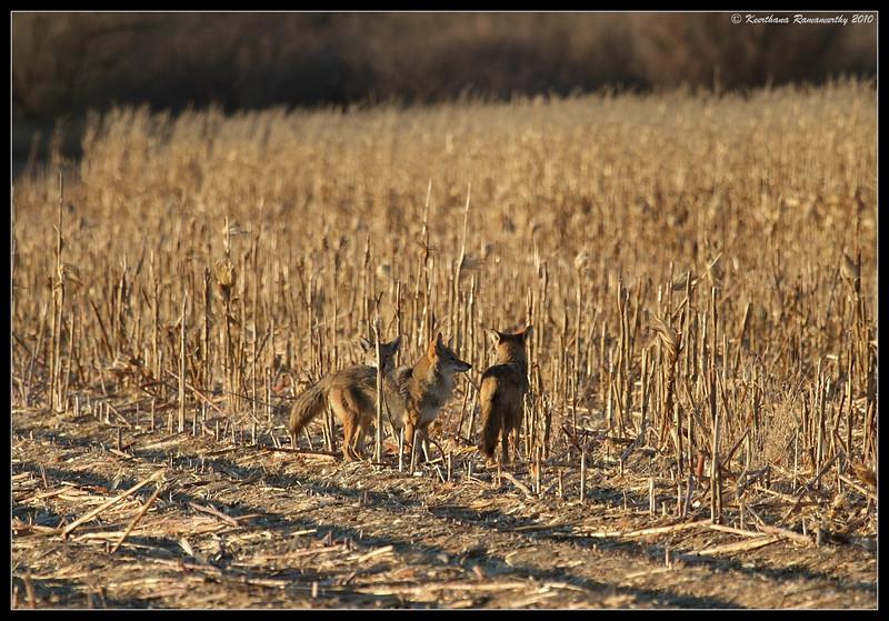 Coyotes in the corn field, Bosque Del Apache, Socorro, New Mexico, November 2010