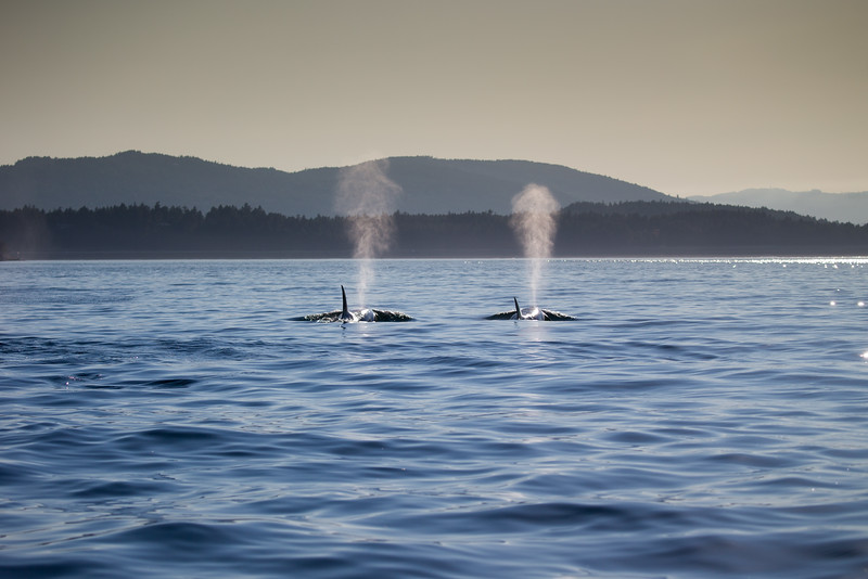 Orcas -  073115-673-Edit-Edit.jpg