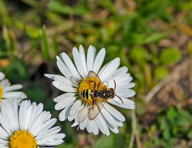 Nomada fucata (Painted Nomad Bee)