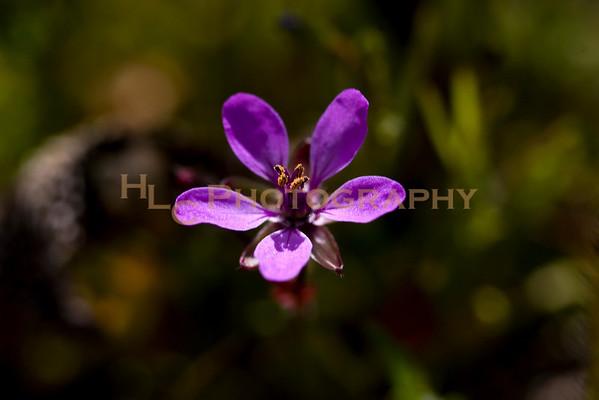 03/01/09 California City - wild flowers