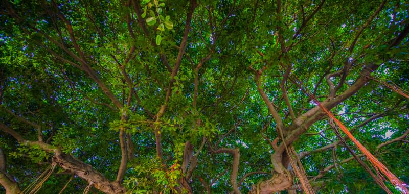Banyan Tree 18