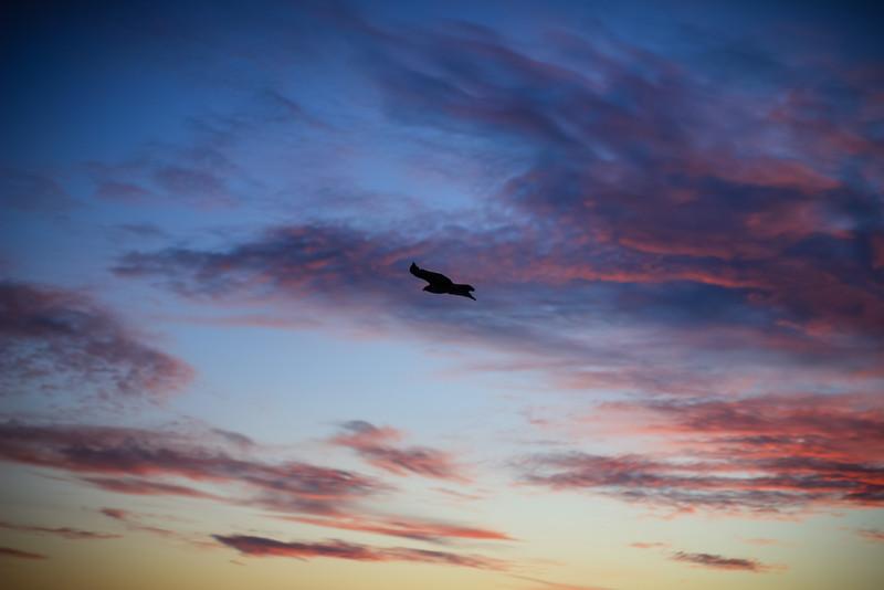 Falcon flying through sunset.