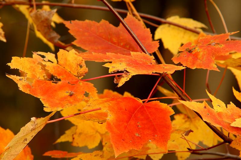 Maple leaves in fall, Hampton, VA. © 2006 Kenneth R. Sheide