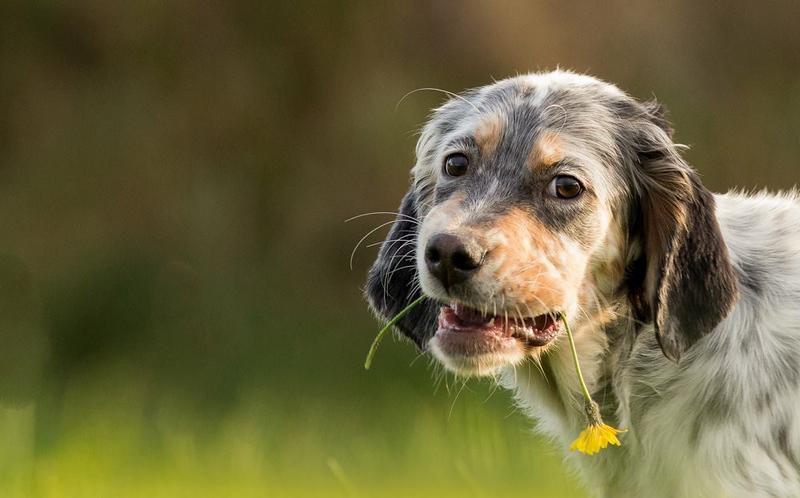 Redhara-English-Setter-Puppies.jpg