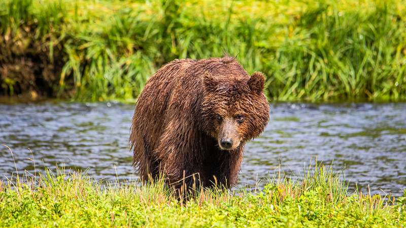 Brown Bear at Pack Creek.jpg