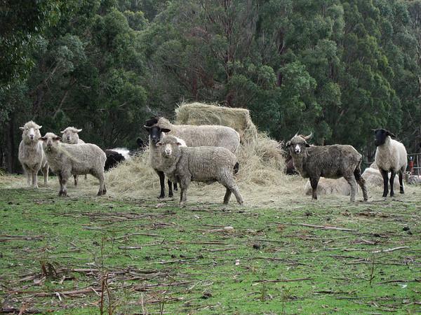 Farm Animals-1-1