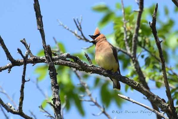 Cedar Wax Wings