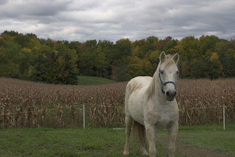 Horse, cornfield, trees
