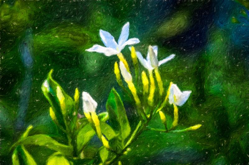 August 8 - Blooming jasmine.jpg