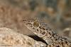 Ptyodactylus hasselquistii - Fan-Footed Gecko