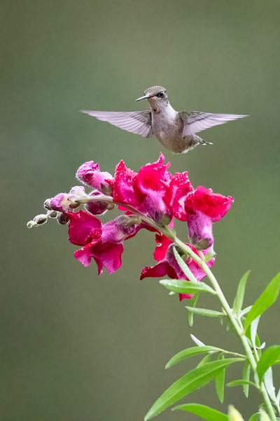 #1756 Ruby-throated Hummingbird