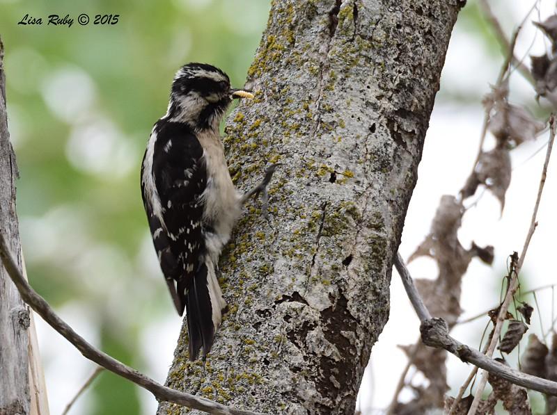 Downy Woodpecker  - 5/25/2015 - Mast Park, Santee
