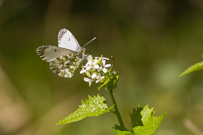 Aurora (Anthocharis cardamines)
