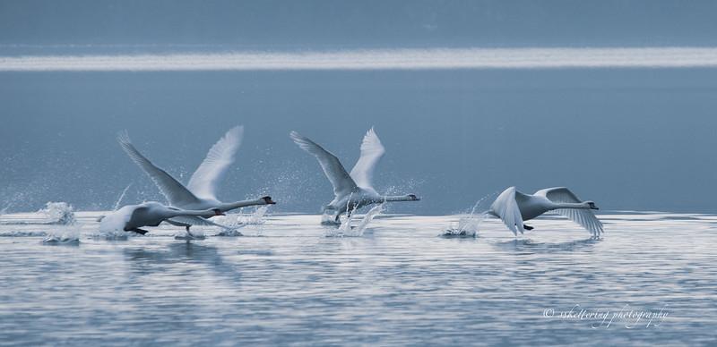 winterswans19-5715.jpg