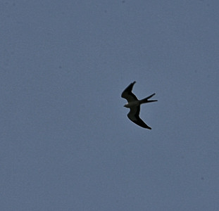 Swallow-tailed Kite  Rt 17 south of McClellanville SC Aug 7 2014
