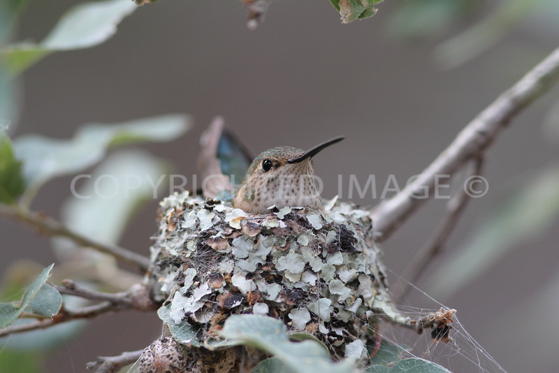 Broad-tailed Hummingbird on nest, Big Bend National Park, 2013.07.05