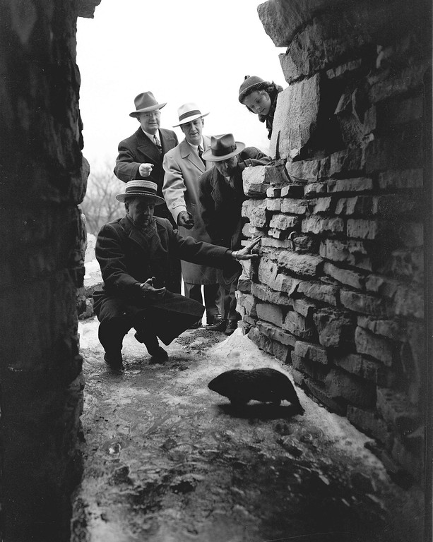 . Milwaukee Groundhog Club members try to coax Junior, year-old groundhog, out of his Washington Park cave, Feb. 2, 1952. Cloudy weather ruled out the possibility of Junior seeing his shadow and returning to the cave for six more weeks of winter hibernation. Club members, from left are: Tait Clifford, George Speidel, Harold Phelan, U.S. meteorologist Howard J. Thompson and Susan Phelan, 7. (AP Photo/Gene Herrick)