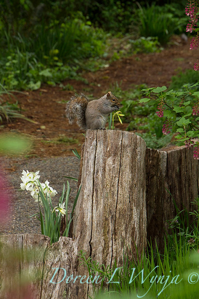 Squirrel eating woodland garden_7831.jpg