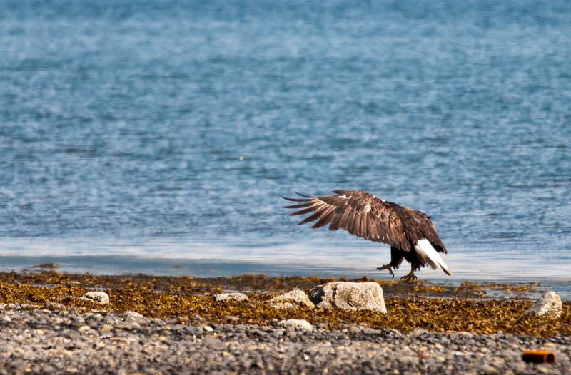 Bald Eagle Trot Homer Spit Lagoon Homer, Alaska © 2010