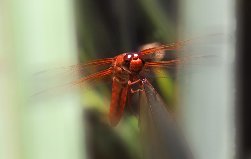 dragonfly4868 blur.jpg