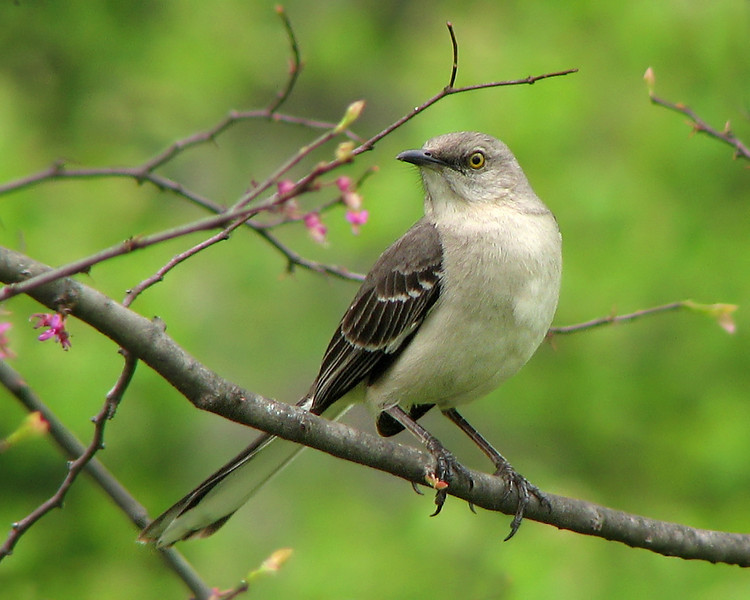 mockingbird_4885.jpg