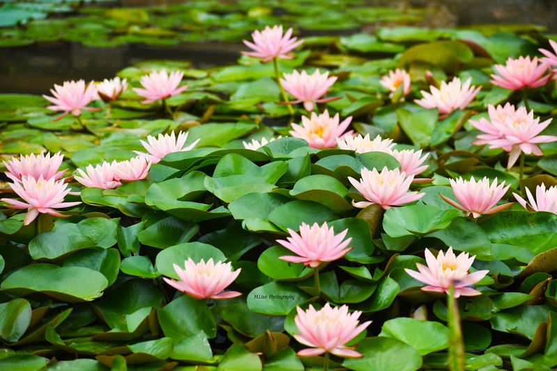 Water Flowers.jpg
