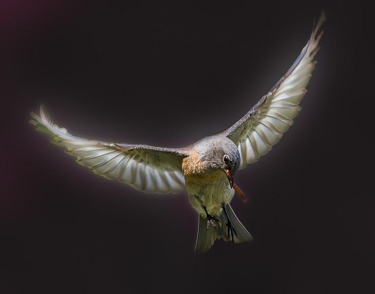 Robin-4.jpg