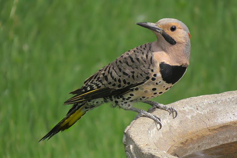 sx50_flicker_woodpecker_birdbath_464.jpg