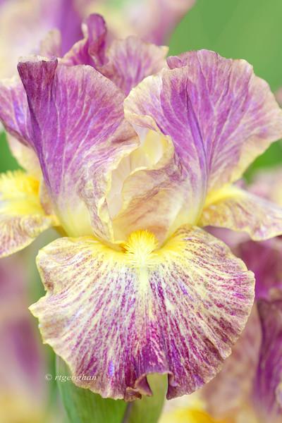 Iris Sheer Excitement