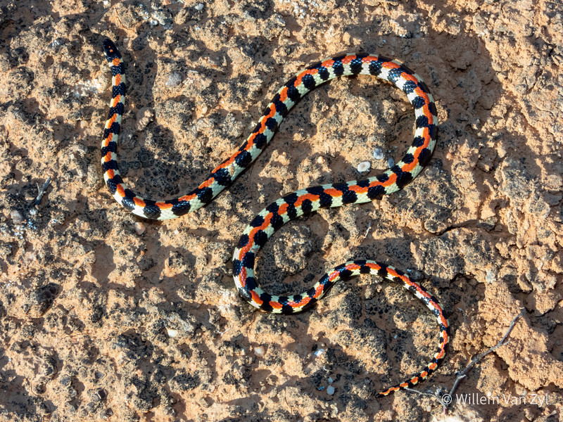 20200623 Spotted Harlequin Snake (Homoroselaps lacteus) from Vredendal, Western Cape