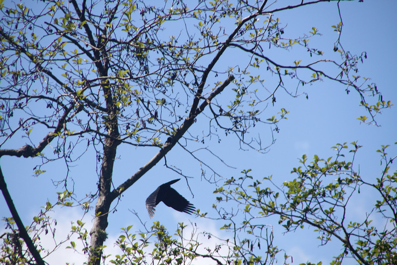 I was trying to take a picture of this large bird so I could get a better look at it, and just then it flew away. Kind of cool picture. I guess it's just a crow though.